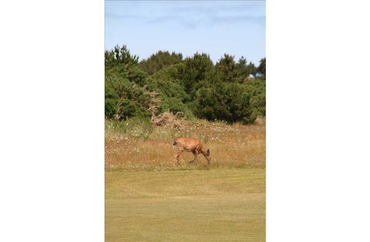 There are deer near my home and on the courses